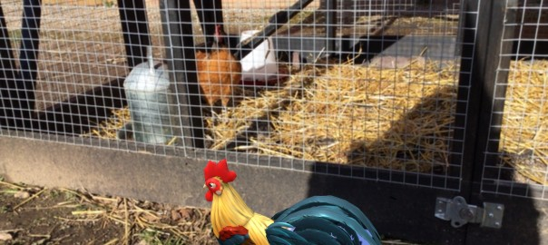 visiting the ladies in the chook run